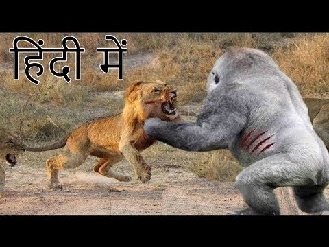 Video शेर और गोरिल्ला की लड़ाई में कौन जीतेगा who won fight between lion and gorilla download in MP3, 3GP, MP4, WEBM, AVI, FLV January 2017