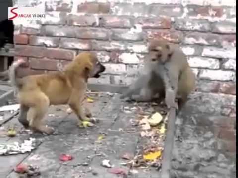 Maymun, köpeği madara ediyor