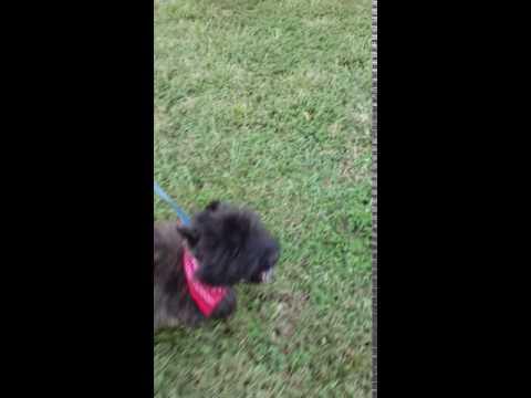 Walking on a leash, such a good boy!!
