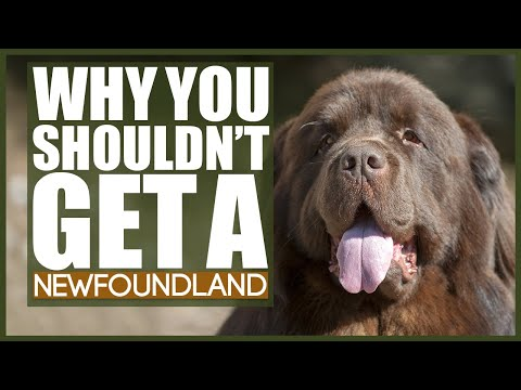 5 Reasons You SHOULD NOT GET A NEWFOUNDLAND!