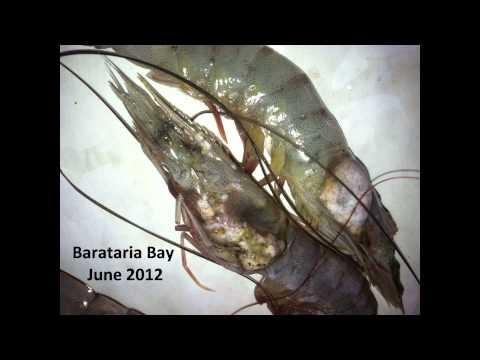 Gulf of Mexico Shrimp Anomalies