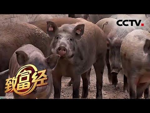 《致富经》 恩爱夫妻 单飞把钱赚 20180720   CCTV农业