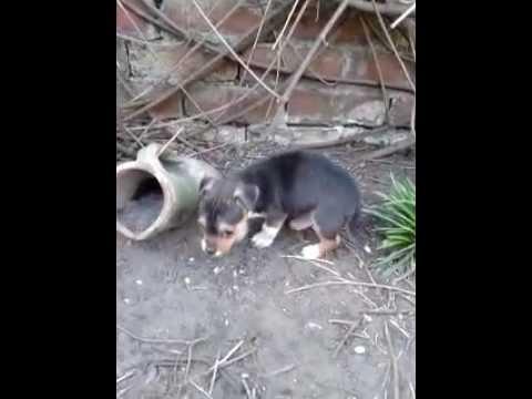 Beautiful Jackhuahua Jack Russell / Chihuahua Pups