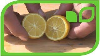Limequats: Ernten und degustieren