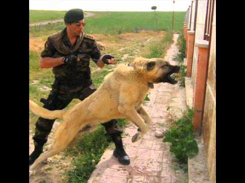 Turkish sheperd dog - One of the Biggest Dog Breed in the world, Guardian of the Fields! KANGAL IS A TURKISH DOG (This is Historical/Scientific Source) Kangal dogs, The Akbash Dog...