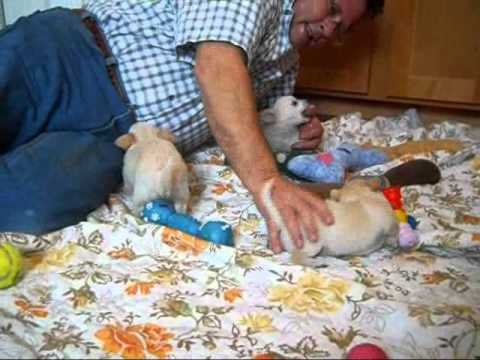 chihuahua puppies joanna pups 3 18 11.wmv