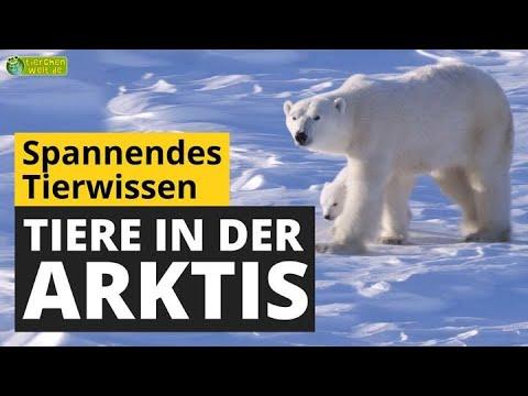 Wie überleben Tiere die eisige Kälte in der Arktis? - Tier-Doku für Kinder
