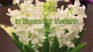 Flowering Bulb Plant Tips from ShopRite