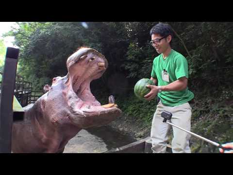 Apparently hippos like their watermelons whole! WATCH!
