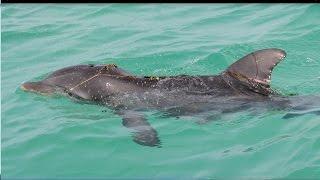 Be Careful Fishing Around Dolphins