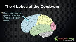 025 The 4 Lobes Of The Cerebrum And Their Functions