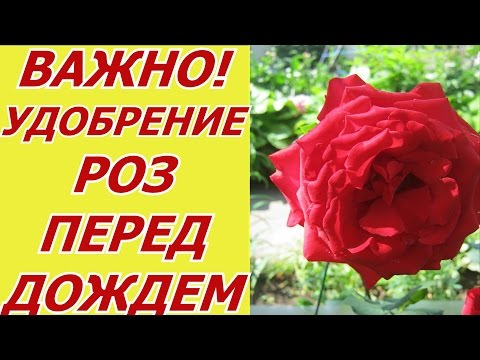 Роза - подкормка по сухому перед дождем. Удобрение роз в саду