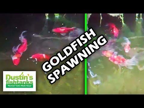 HOW TO BREED GOLDFISH: Goldfish spawning early morning