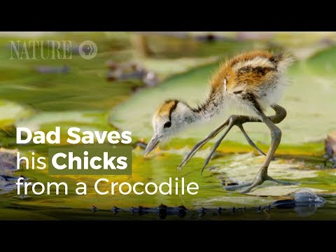 Smart Jacana Bird Save Its Babies From Predators