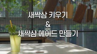 [종로 슬기로운 집콕생활] 새싹삼 키우기 & 새싹삼 에이드 만들기 썸네일