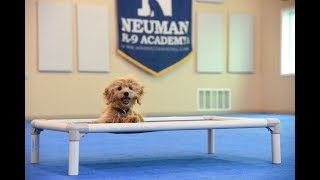 Easton (Mini-Goldendoodle) graduated from the dog training boot camp at Neuman K-9 Academy. This program included obedience commands to sit, stay, heel or walk on a loose leash, come when called, proper etiquette, no jumping up, meeting and greeting people under control, and running on a treadmill.Our dog training camp provides programs for the Goldendoodle such as boot camp, obedience training, and puppy camp.Neuman K-9 Academy is a professional canine training school that provides board and train (inboard) for dogs, and fully trained dogs for sale.For more information visit: www.mndogtraining.comLocated in Hugo Minnesota just north of Minneapolis and St. Paul (MN).