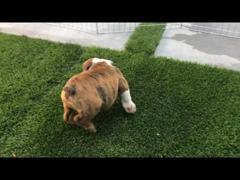 AKC Red Brindle Bulldog