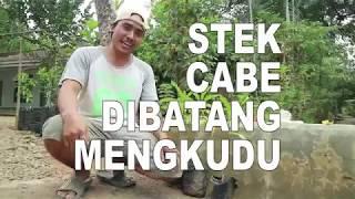 Video CARA STEK CABE DI BATANG MENGKUDU MP3, 3GP, MP4, WEBM, AVI, FLV September 2019