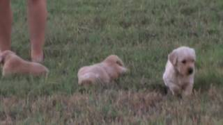 AKC Golden Retriever Puppies  2 males 1 female