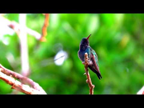 Lepidopyga coeruleogularis or Sapphire-bellied Hummingbird - Lepidopyga lilliae