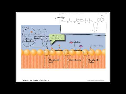 Movie 14   Lipid Synthesis in the ER