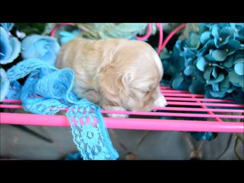 Ellie AKC Female Silver Buff Cocker Spaniel Puppy for sale