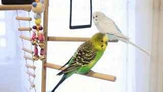 Download Lagu 3 Hour Budgie Sounds for Lonely Budgies Mp3