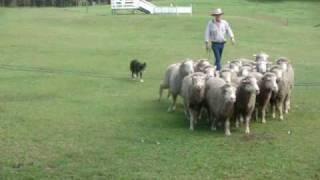 Ovelhas e cães pastores