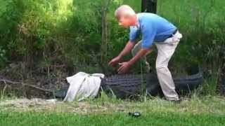 Catching An Alligator Failed
