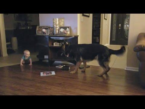 Owczarek niemiecki zaczyna bawić się z dzieckiem w berka. Gdy mama to widzi, szybko włącza kamerę.