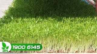 Trồng trọt | Cách dùng phân trùn quế cho cây rau mầm