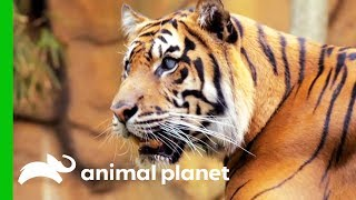 Hunter The Tiger Is Blind And Thriving! by Animal Planet