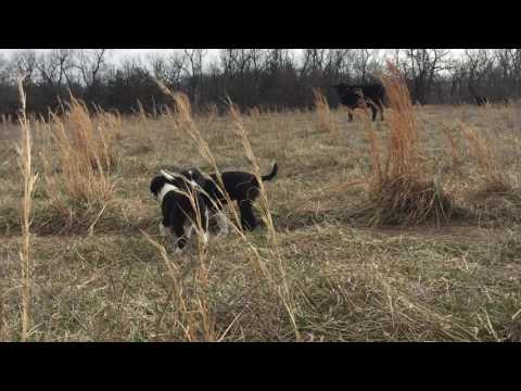 Border Collie Puppy Missy