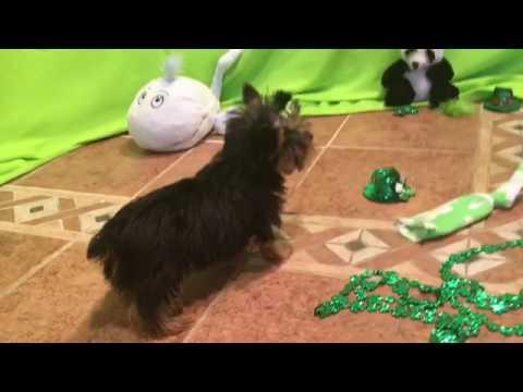 Petey yorkshire terrier puppy