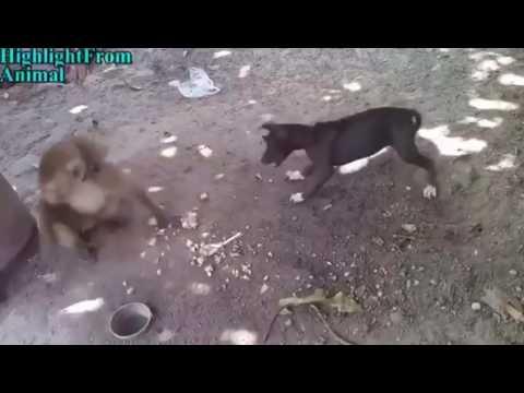 Video बन्दर कुत्ते की ladai download in MP3, 3GP, MP4, WEBM, AVI, FLV January 2017