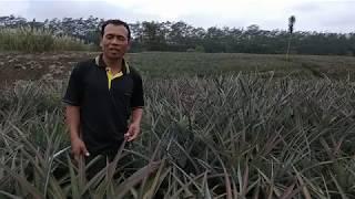 Desa Sempu Berupaya Sejahtera Lewat Nanas