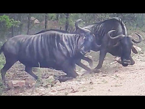 El ñu que intentaba resucitar a su amigo que cayó en combate