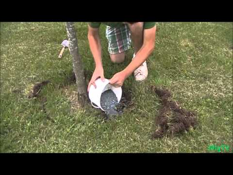 how to fertilize established trees