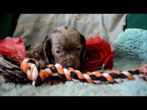 Rocky Road Male Chocolate Dapple DachshundCocker Spaniel Puppy for sale