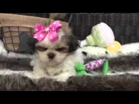 Cute-As-A-Button & So Spunky, Female Shih-Tzu!