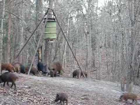 2 hogs 1 shot  .270 WSM  part A
