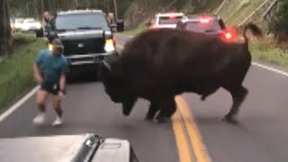 Video Bison Walks Away After Tourist Taunts Animal at Yellowstone National Park MP3, 3GP, MP4, WEBM, AVI, FLV September 2018