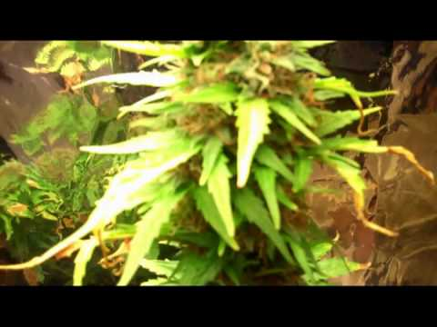 Afghan Kush Ryder Auto flowering Cannabis