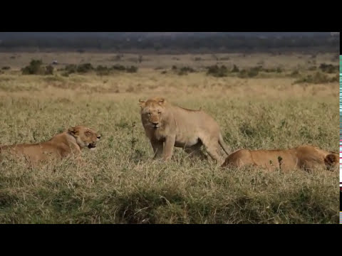 Video The Lion Hunt - Kenya - Masai Mara download in MP3, 3GP, MP4, WEBM, AVI, FLV January 2017