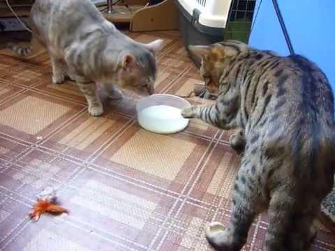 """El video de dos gatos que """"pelean"""" por leche que arrasa en las redes"""