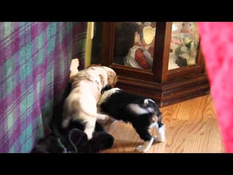 Tango AKC CH cavalier puppy