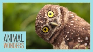 Can Owls Really Turn Their Heads All The Way Around? by Animal Wonders