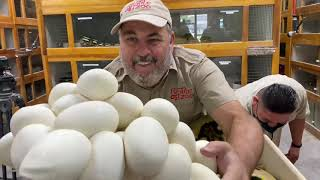 Pulling HUGE Clutch of Reticulated Python Eggs at Prehistoric Pets by Prehistoric Pets TV