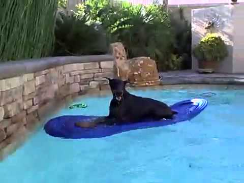 doberman playing in the pool!