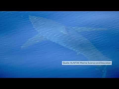 CABRERA: Weißer Hai in der Nähe von Mallorca gesich ...